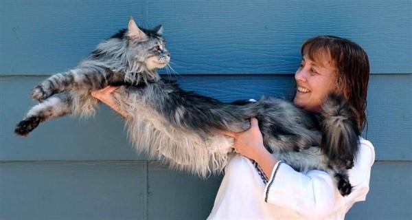 Garākais mājas kaķis5gadus... Autors: dirty minded freak 10 interesanti pasaules Ginesa rekordi.