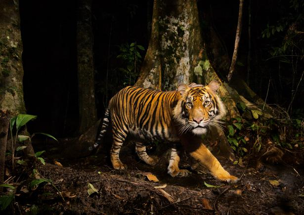 Visā pasaulē ir mazāk tīģeru... Autors: Zāģis Fakti par tīģeriem.