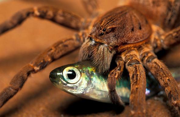 Scaronādi zirnekļveidīgie ir... Autors: Zirnrēklis Zirnekļi, kas pārtiek no zivīm