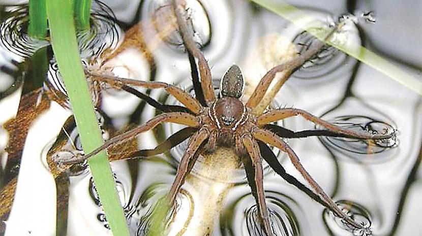 Vismaz 18 sugas ir novērotas... Autors: Zirnrēklis Zirnekļi, kas pārtiek no zivīm