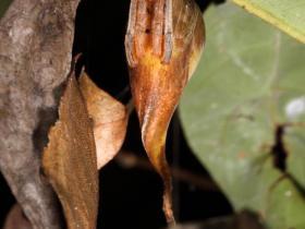 Zirneklis, kas izskatās pēc lapas
