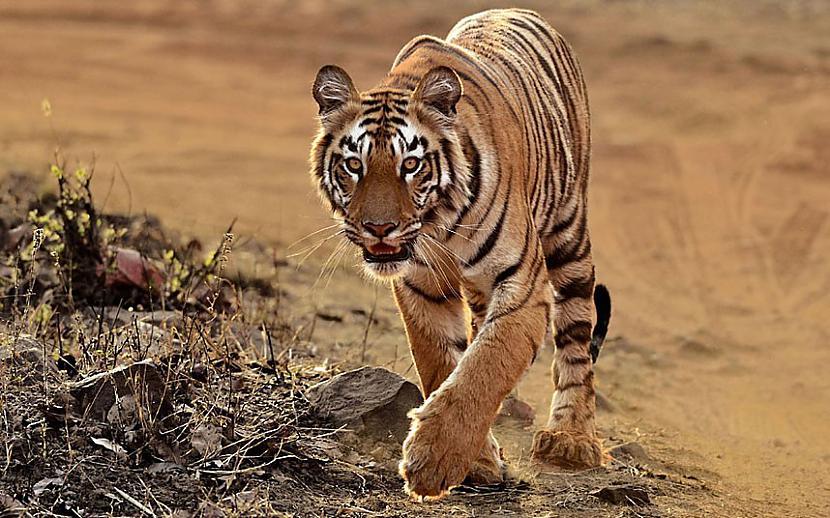 Tīģeris veselu nedēļu pēc... Autors: Zāģis Fakti par tīģeriem.